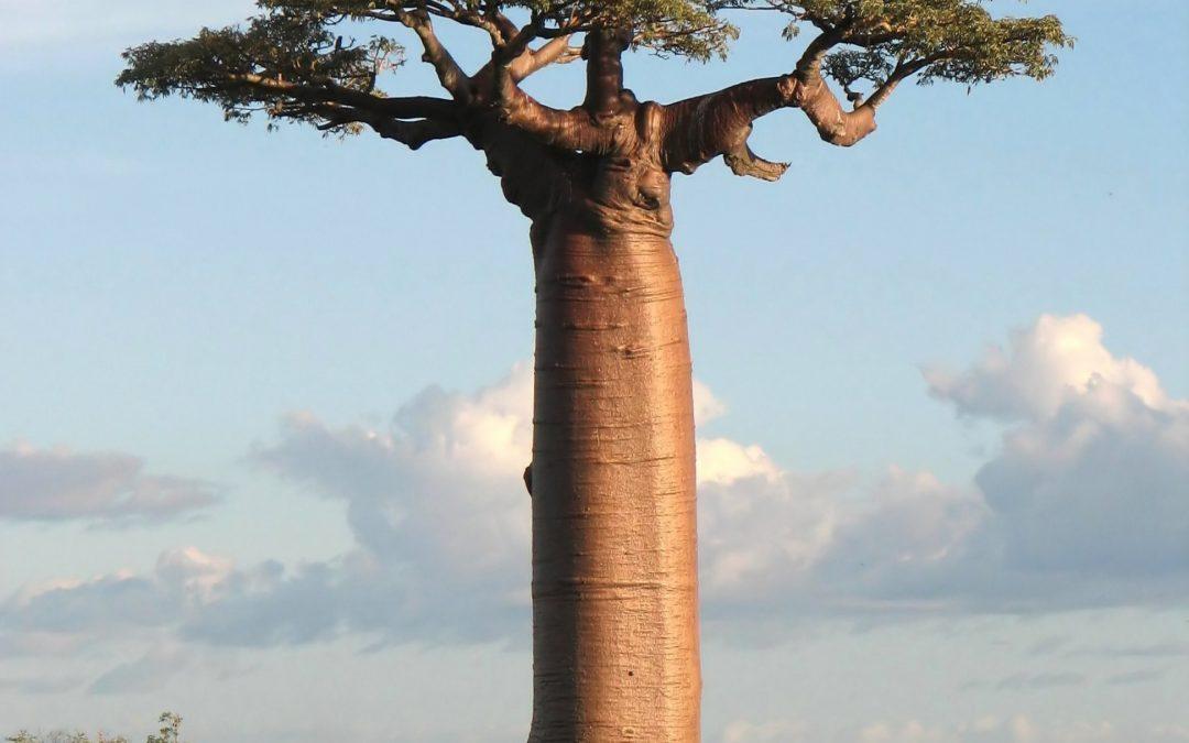 Baobab : The Tree of Life – L'Arbre de Vie